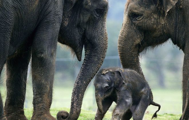 Consoling behaviors are rare in the animal kingdom. But a recent study of Asian elephants at a sanctuary in Thailand showed they consistently responded to herd members exhibiting signs of distress.