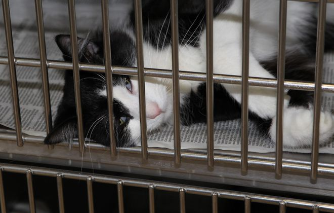 The SPCA recently offered a free adoption special for three days to try to reduce its overcrowded cat population.