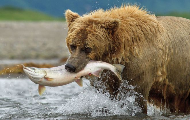 """In a scene from """"Bears,"""" a grizzly in the Alaska wilderness catches dinner."""