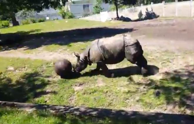 Buffalo Zoo rhinoceros displays soccer skills in YouTube video.