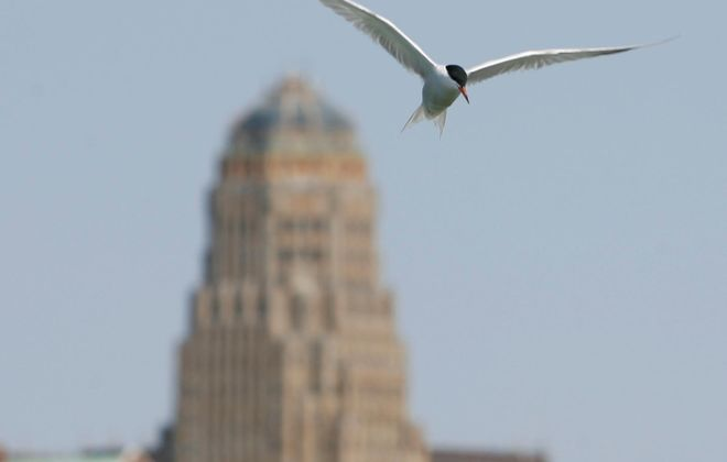 Spill poses new fear for common terns