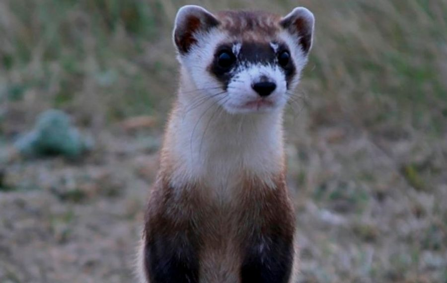 Oh, a curious black-footed ferret invaded your basement? Guess you'll have to leave work. (New York Times)