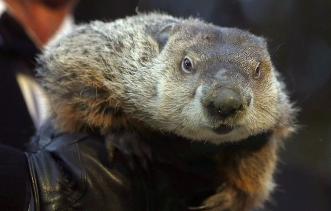 Punxsutawney Phil gives the camera his game face in 2013. Today. Phil saw his shadow, indicating six more weeks of winter. (Associated Press file photo)