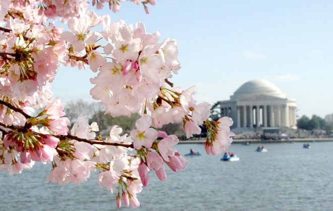 Paddleboats on the Tidal Basin offer a spectacular springtime view of cherry blossoms and the Jefferson Memorial in Washington, D.C. (Destination DC)