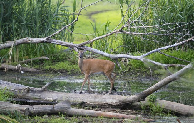 The Quality Deer Management Association has cleared up some misconceptions about deer. {Mark Mulville / Buffalo News}