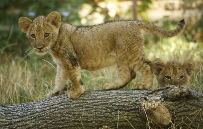 Two of three new lion cubs, born May 12, explore in their enclosure at the Buffalo Zoo Wednesday, Aug. 3, 2016. (Derek Gee/Buffalo News)