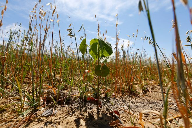 A parched field of alfalfa, oats and clover at Mammoser Frams in Eden on July 20. (Mark Mulville/News file photo)