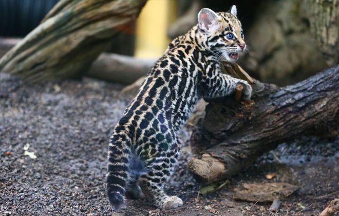 Nico, The Buffalo Zoo's new ocelot, was a star in the #cuteanimaltweetoff on Thursday. (John Hickey/Buffalo News)