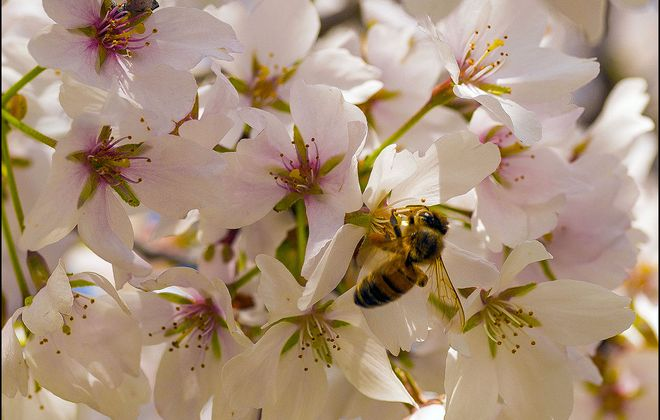 A busy bee: When the festival opens this weekend, most cherry blossom trees in the Japanese Garden in Delaware Park should be in peak bloom, hugging the trees in blankets of pink petals.  (Derek Gee/Buffalo News)