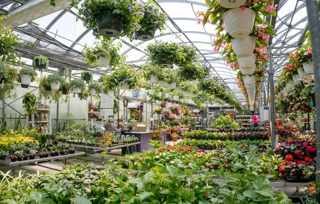 Rows of lush hanging plants provide a comforting canopy at Lockwood's Garden Center in Hamburg.  (Dave Jarosz)