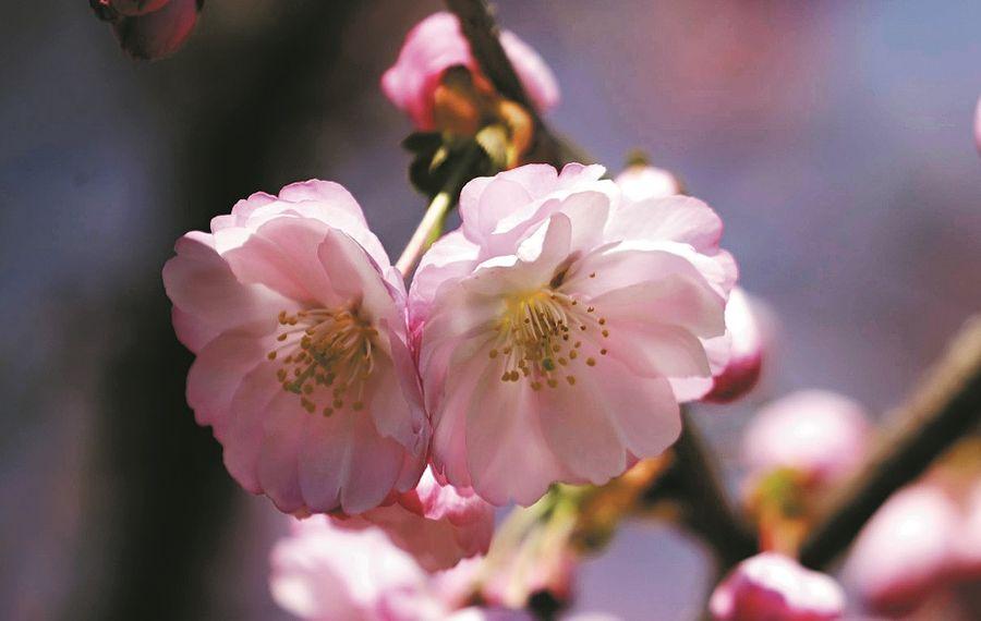 The fourth annual Buffalo Cherry Blossom Festival runs from May 2 to 6. (John Hickey/Buffalo News file photo)
