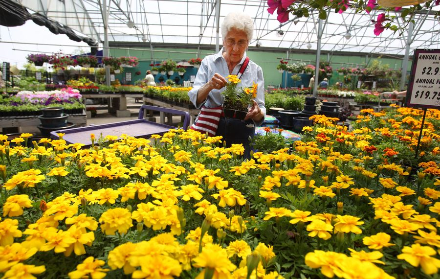 In this 2014 photo, Shirley Amacker of North Tonawanda looks at marigolds at Menne Nursery, in Amherst, which has a purchase offer from Delta Sonic.  (Sharon Cantillon/Buffalo News)