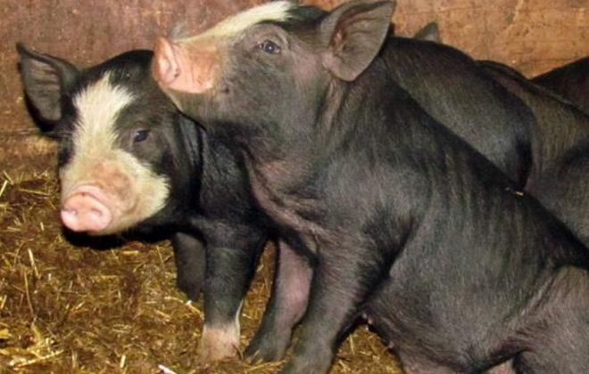 Grand Island OKs law making it easier to own livestock in farm districts
