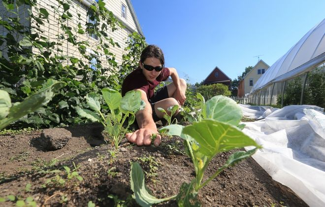 Jabert Boudreau a MAP Program member, weeds a bed at the Massachusetts Avenue Project. (John Hickey/News file photo)