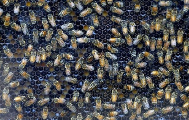 A glass panel on a hive of honey bees. (Robert Kirkham/Buffalo News)