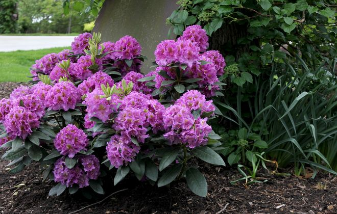 A Dandy Man Purple rhododendron in full bloom. Photo courtesy Proven Winners.