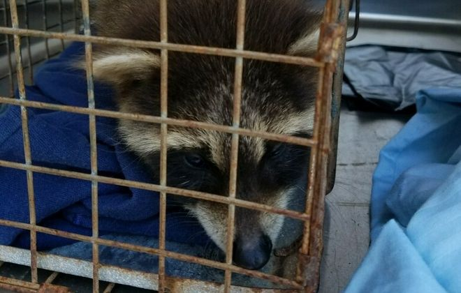 This raccoon was orphaned and euthanized last week. Many other animals have been  euthanized by the SPCA because of potential rabies exposure to humans. (Courtesy of the Erie County SPCA)