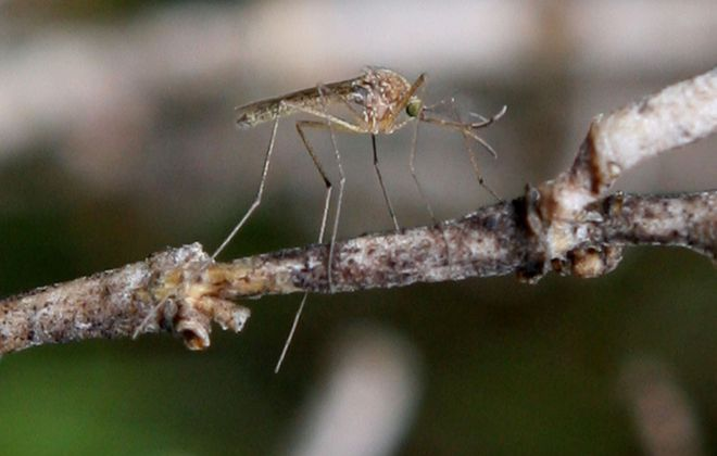 More mosquitoes could be a result of the recent wet weather in Western New York. (Buffalo News file photo)