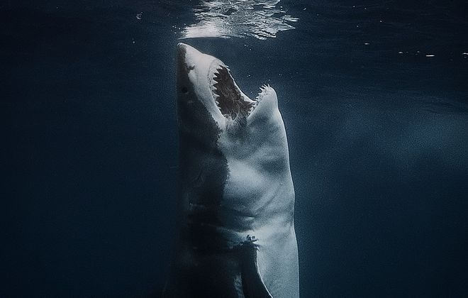 A David Sandford image, great white sharks, Neptune Islands, Australia. (Courtesy David Sandford)