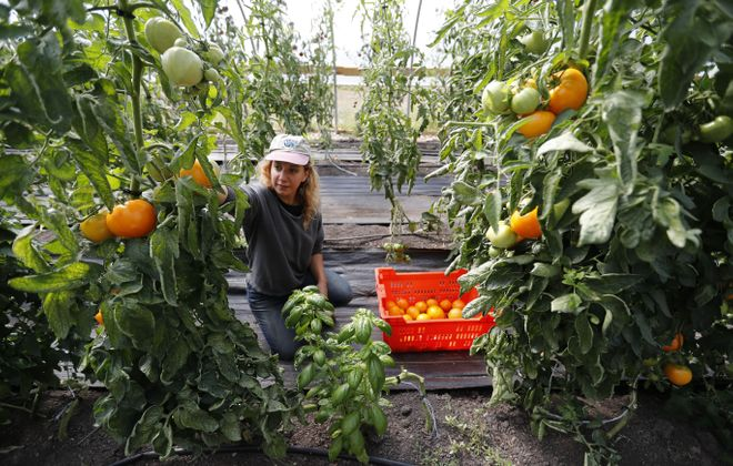 Mayda Pozantides says the Groundwork Market Garden wind tunnel, along Genesse Street,  has produced 300 to 500 pounds of tomatoes weekly in recent weeks. Those who attend an upcoming workshop on urban farming will have a chance to tour the farm afterward. (Mark Mulville/Buffalo News)