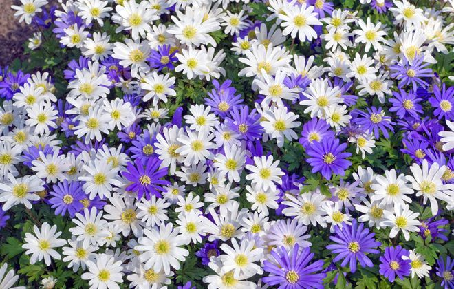 Windflowers (Anemone blanda) are low-growing bulb flowers with daisy-like blooms and ferny foliage. ( Photo courtesy Colorblends.com)