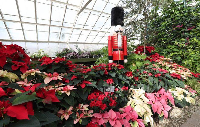 """The Botanical Gardens' annual poinsettia show, """"Poinsettias: Expect the Unexpected,"""" runs through Jan. 7. (Sharon Cantillon/Buffalo News)"""