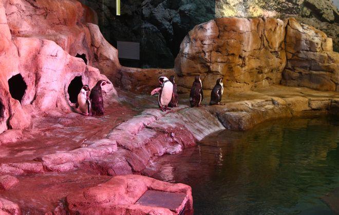 Humboldt penguins enjoy the roomy new $3.5 million habitat complete with saltwater pool at the Aquarium of Niagara. (John Hickey/Buffalo News)