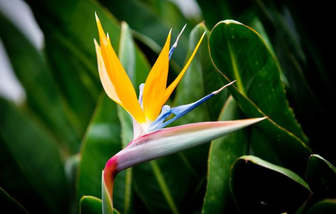 The lovely bird of  paradise, with its striking colors and large, unique flower shape, is the quintessential tropical plant.