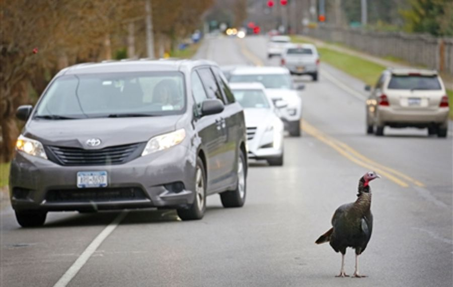 Turkey plays chicken with cars in East Amherst