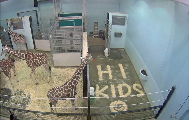 Images of giraffes at the Buffalo Zoo.  (Photo provided by the Buffalo Zoo)