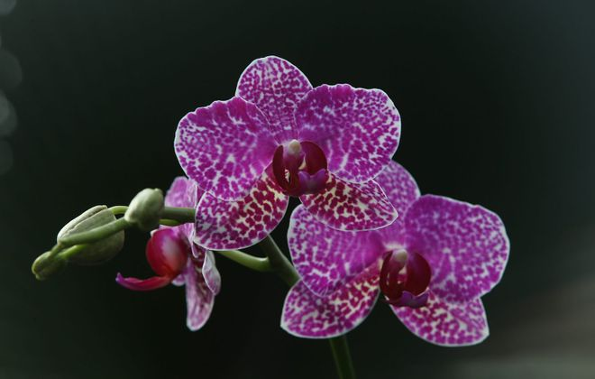 The Orchid Show is scheduled for March 3-4 at the Buffalo and Erie County Botanical Gardens. (News file photo)