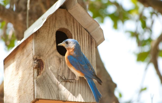A male Eastern bluebird hangs out at the doorway of his nest box.