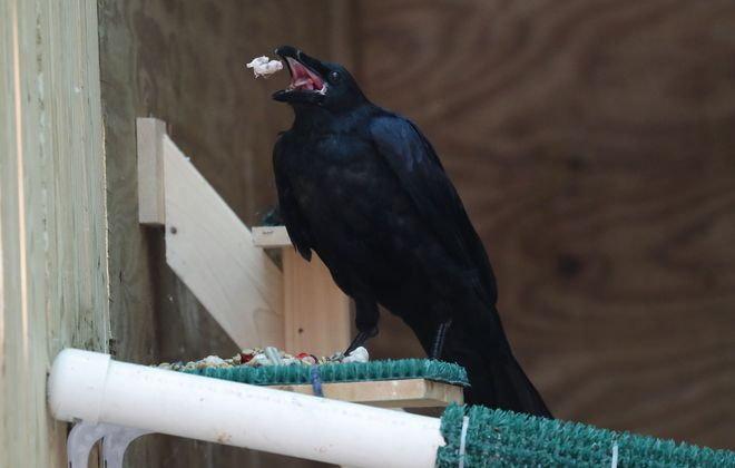 The rescued raven recovering at the SPCA in West Seneca enjoys some lunch Friday. (Mark Mulville/Buffalo News)
