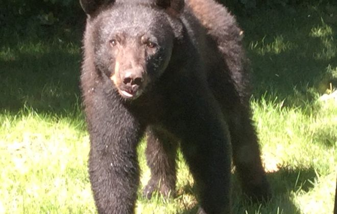 """The """"Amherst bear,"""" as photographed by James Horton, in his Getzville yard. Nate Benson for seven years has operated the Twitter account @TheAmherstBear."""
