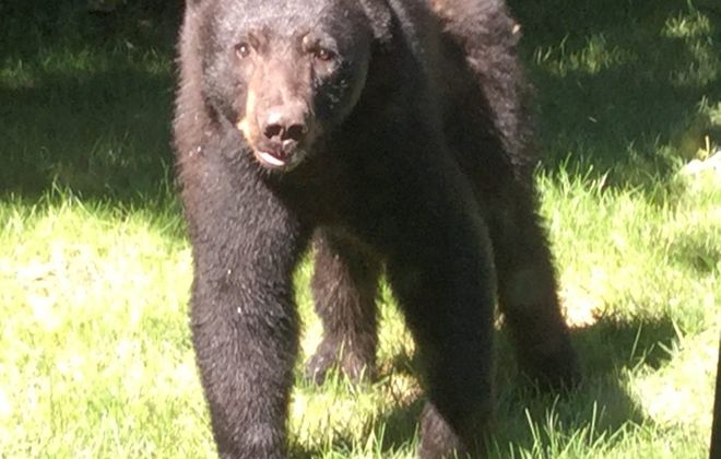 James Horton snapped this photo of a bear in his backyard in Amherst in July. (Courtesy James Horton)