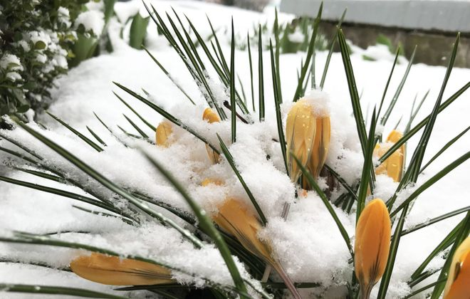 Crocuses in Buffalo were topped with snow on a wintry day earlier this month. (Sharon Cantillon/Buffalo News)