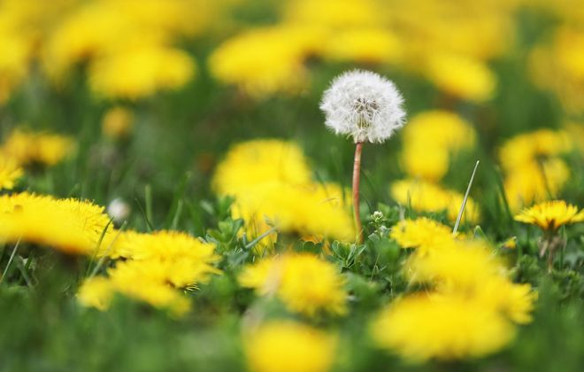 If dandelions bother you, here's the lazy way out: Just cut off their heads so they can't make seeds. (Sharon Cantillon/Buffalo News)