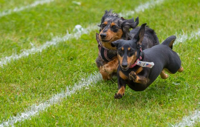Dogs compete in the Doxie Derby at the 2017 Clarence Bark in the Park. (News file photo)