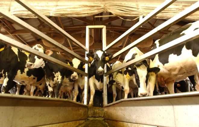 The dairy industry is distinctly different in the United States and Canada.(Buffalo New file photo)