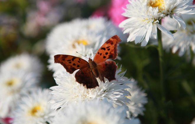 A butterfly hangs around on a shasta daisy at Erie Basin Marina. (Sharon Cantillon/Buffalo News file photo)