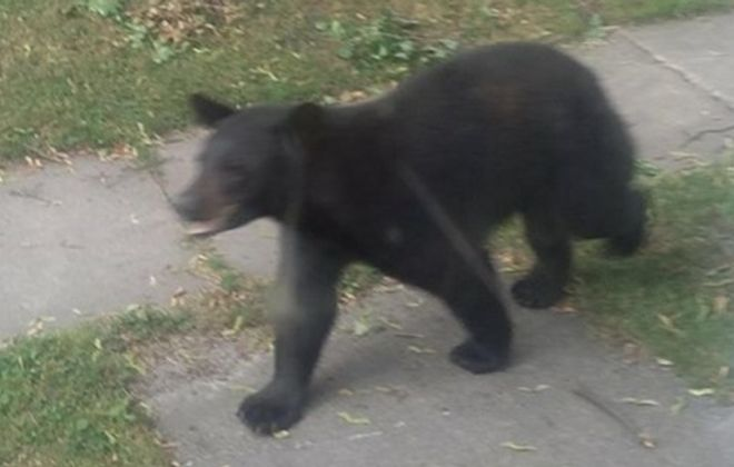 This bear was spotted at 8:08 a.m. on June 22, 2018, in North Tonawanda. (Courtesy of Alison Pendergast)