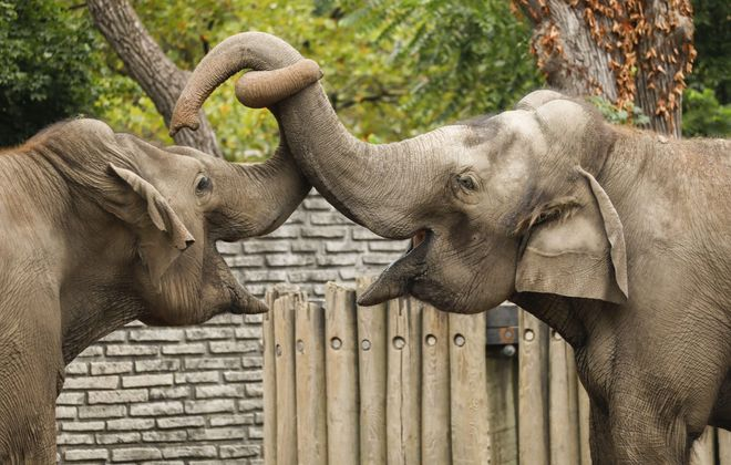 Jothi and Surapa, two Asian elephants, will be moving from the Buffalo Zoo to a zoo in New Orleans this fall, officials announced in August. (Derek Gee/Buffalo News)