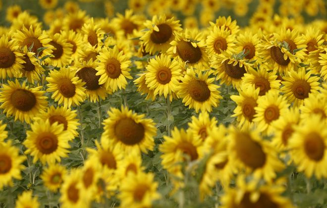 The sunflowers of Sanborn are a sunny reminder that summer is still here to enjoy. (John Hickey/News file photo)