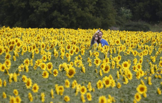 Sunflowers of Sanborn has become a popular Niagara County attraction. (John Hickey/News file photo)