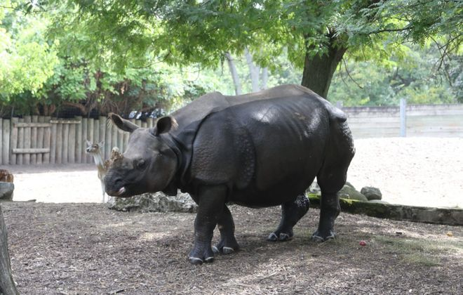 Tashi, the Buffalo Zoo's greater one-horned rhinoceros, gave birth to Mohan in June. (John Hickey/Buffalo News)