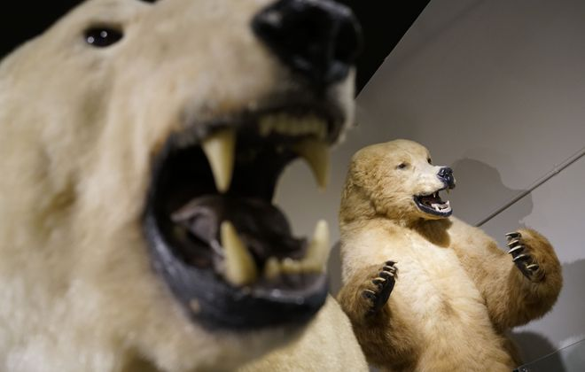 """The polar bears will look especially frightening at the Buffalo Museum of Science during its """"Spooky Overnight at the Museum"""" event. (Derek Gee/Buffalo News)"""