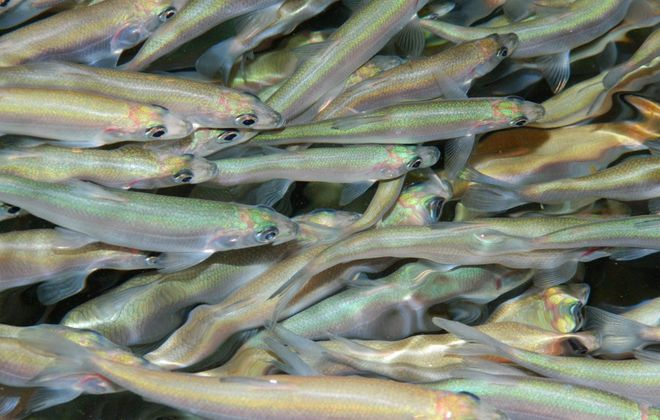 Restoring the native bloater chub to its rightful place in the Lake Ontario food web is the aim of a first-of-its-kind binational effort between the United States and Canada. (Photo courtesy Ontario Ministry of Natural Resources and Forestry)