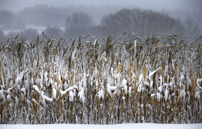 Cornstalks start to get covered in snow in Springville on Tuesday. About a foot of snow was measured nearby. (Mark Mulville/Buffalo News)