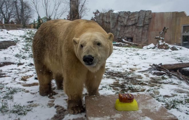 Mmmm. Blood, peanut butter and pumpkin. Sakari, the polar bear, got a special birthday cake Wednesday at the Buffalo Zoo. (Courtesy of The Buffalo Zoo)