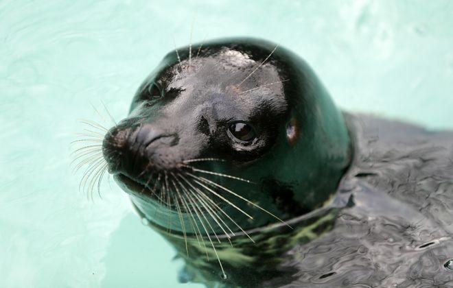Lumiere, a rescued pacific harbor seal, at the Aquarium of Niagara in Niagara Falls.   (Mark Mulville/Buffalo News)